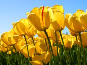Tulips 300x225 - Tulips